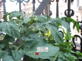 première tomate greg