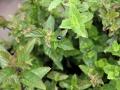 Menthe poivrée et menthe marocaine, et un petit scarabée bleu