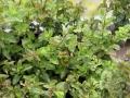 Menthe poivrée, menthe marocaine et leurs petits habitants les scarabées bleus