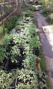Les tomates sont enfin de sortie